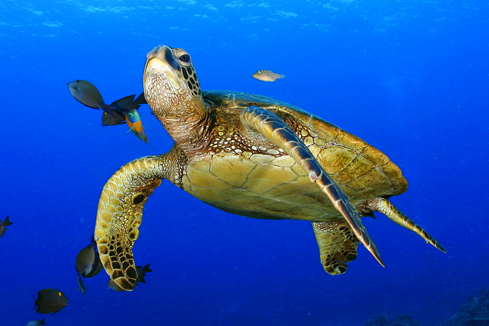 Hawaii, Green Sea Turtle cleaned by reef fish [For use up to 13x20 only]
