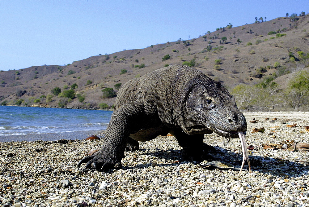 Indonesia, Komodo Dragon National Park, Komodo Dragon [For use up to 13x20 only]