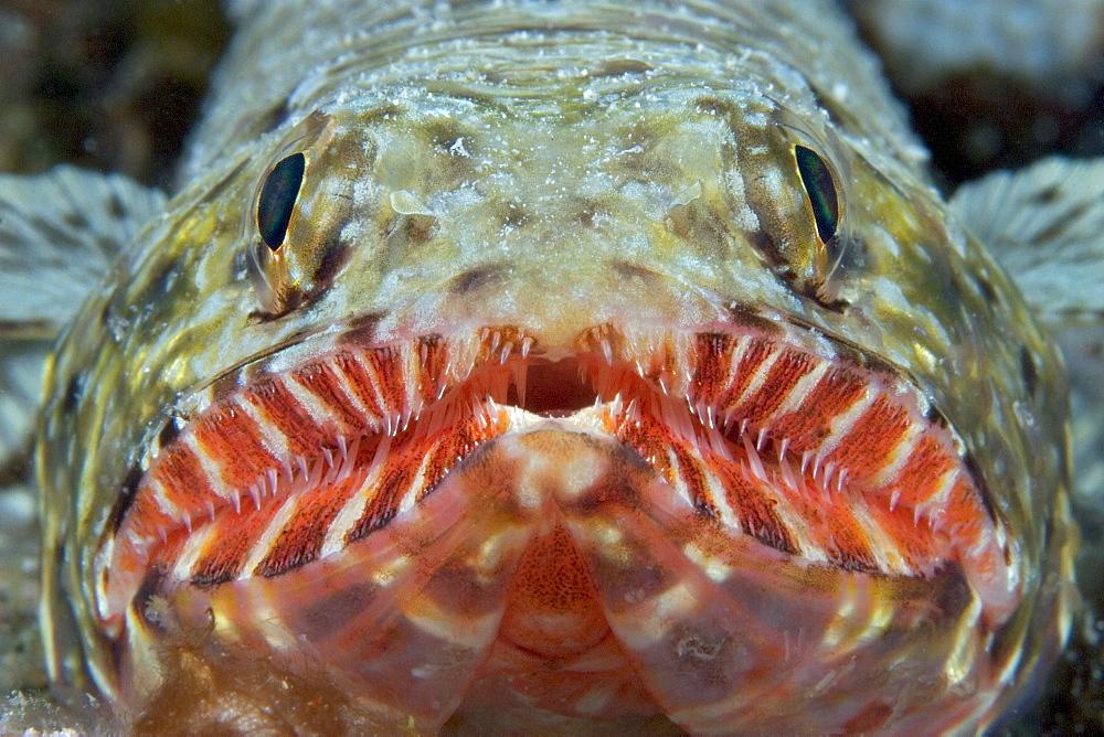 Hawaii, Close-up of an Orangemouth lizardfish (Saurida flamma)