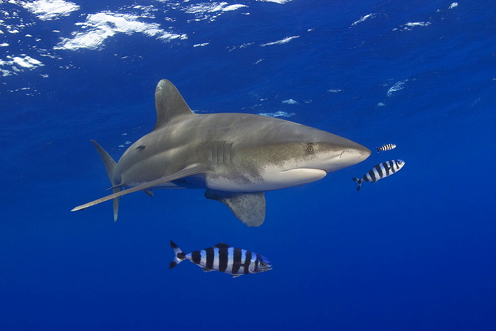 Hawaii, Oceanic whitetip shark (Carcharhinus longimanus) with pilot fish.