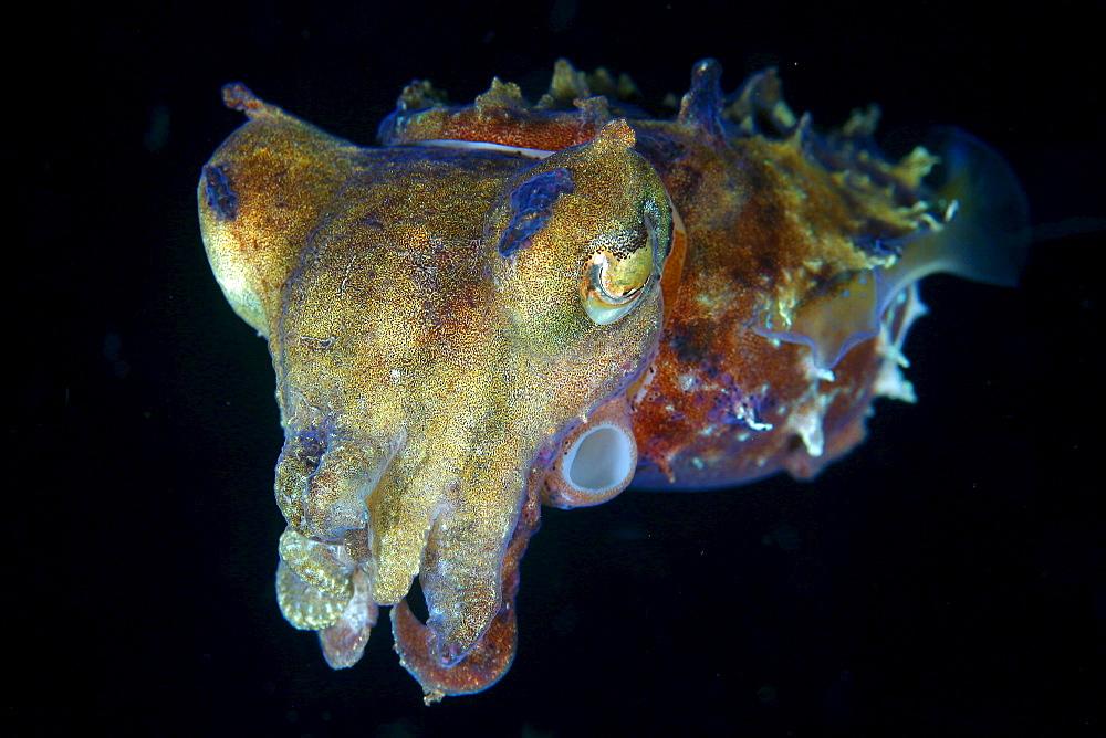 Indonesia, Pura, Papuan cuttlefish, in dark water