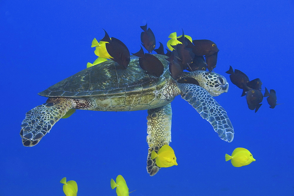 Hawaii, Green sea turtle (Chelonia mydas) being cleaned by surgeonfish.
