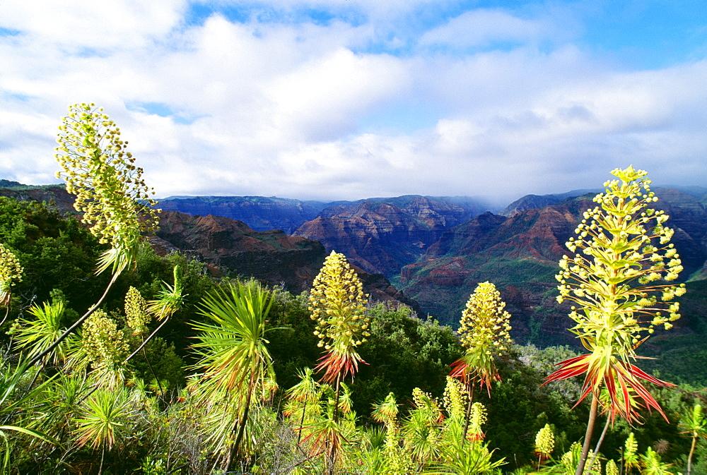 Hawaii, Kauai, Waimea Canyon, Iliau plant, (Wilkesia gymnoxiphium) found only on Kauai