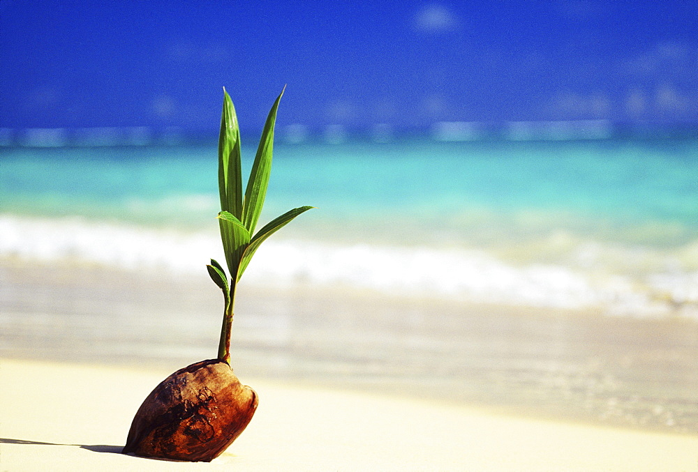 Closeup of coconut sprouting along shoreline, turquoise water in background.