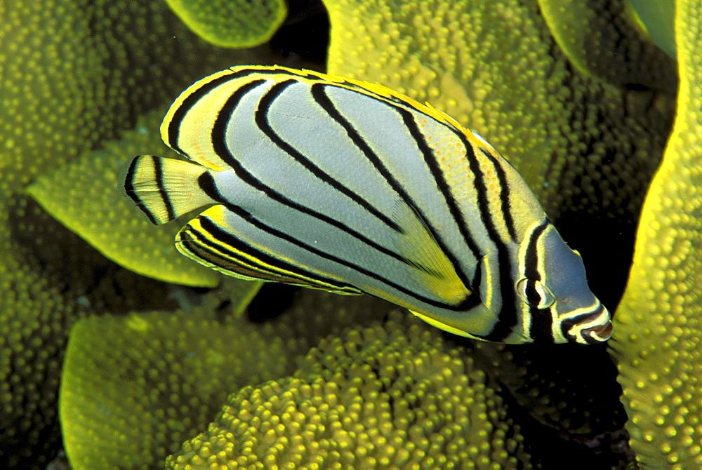 Micronesia, Meyer's Butterflyfish (Chaetodon meyeri) .