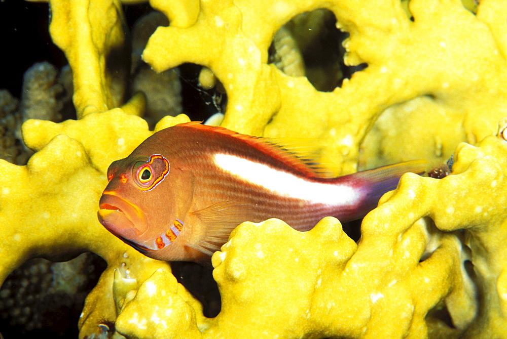 Micronesia, arc-eye hawkfish Paracirrhites arcatus, Fire coral (Millepora dichotoma)