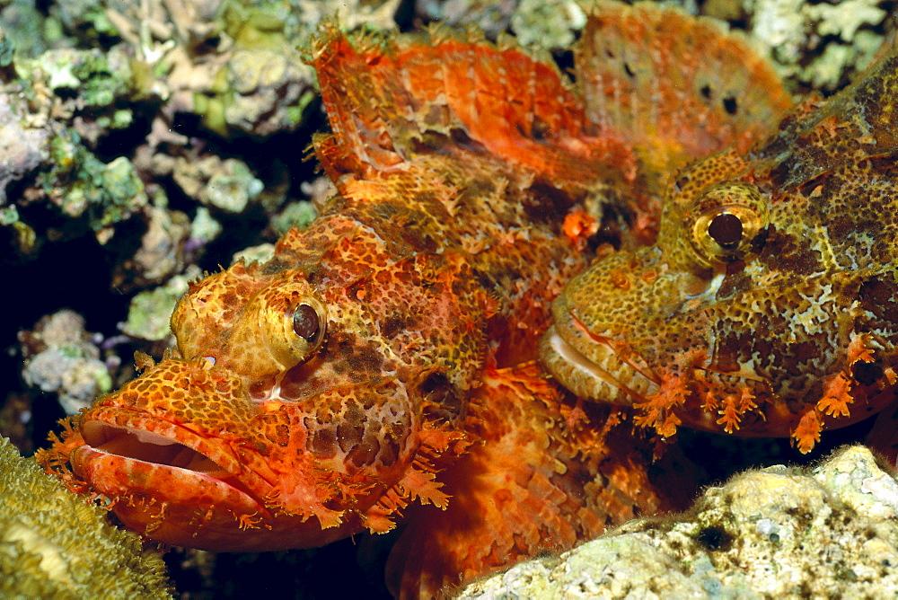 Papua New Guinea, pair of mating scorpionfish, close-up