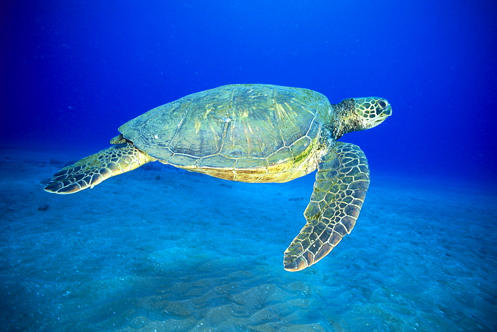 Hawaii, Green sea turtle swims midwater clear water, sandy (Chelonia mydas)