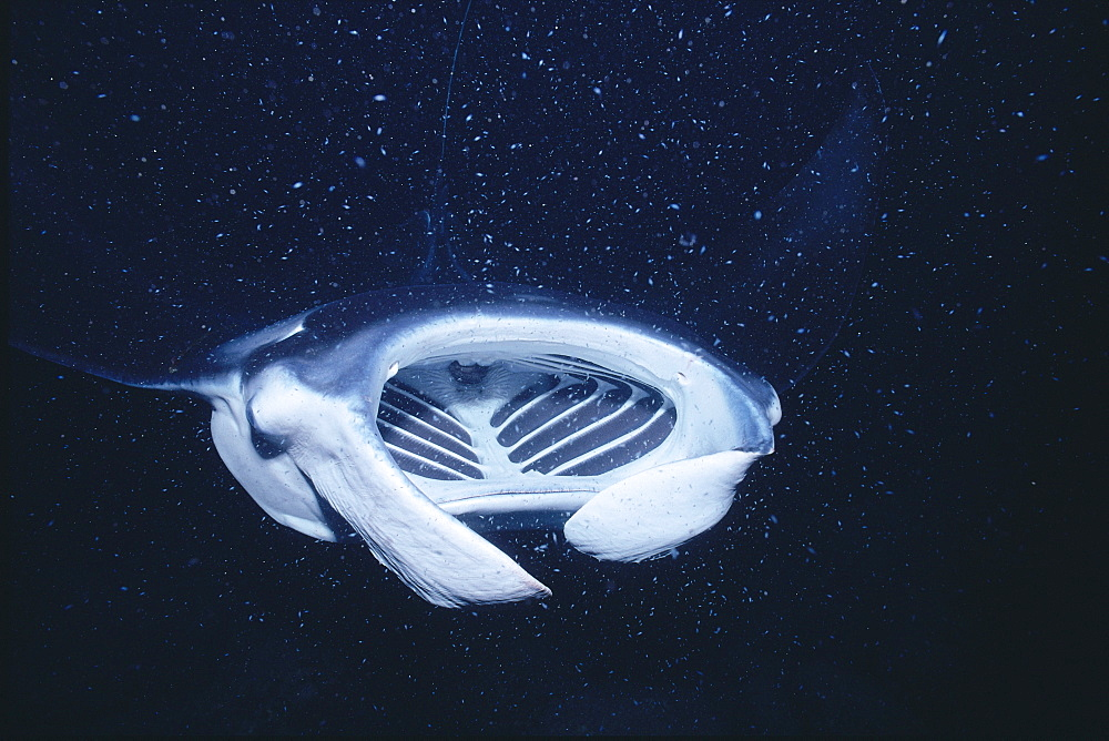 Hawaii, Big Island, Kona, manta ray feeds (Manta birostris) front view A86C