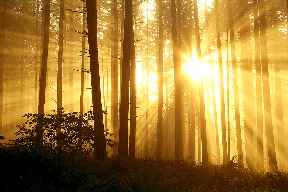Oregon, Eugene, Spencer Butte Park sunlight filters through fog, trees in forest A24E