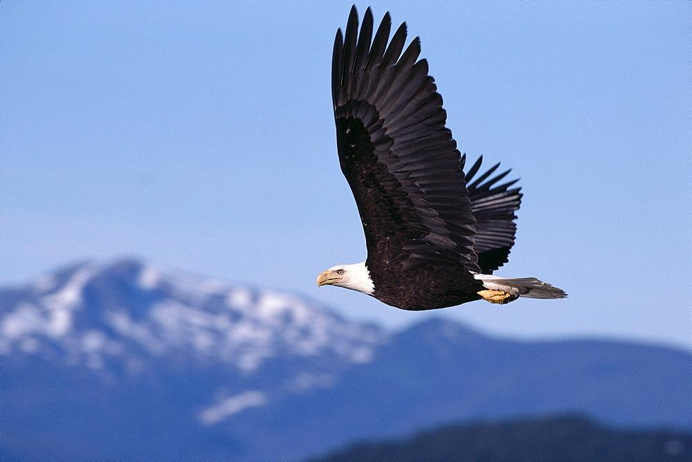 Alaska, Tongass National Forest, Bald eagle in flight, gray sky, mountains distance (Haliaeetus leucocephalus) A52E