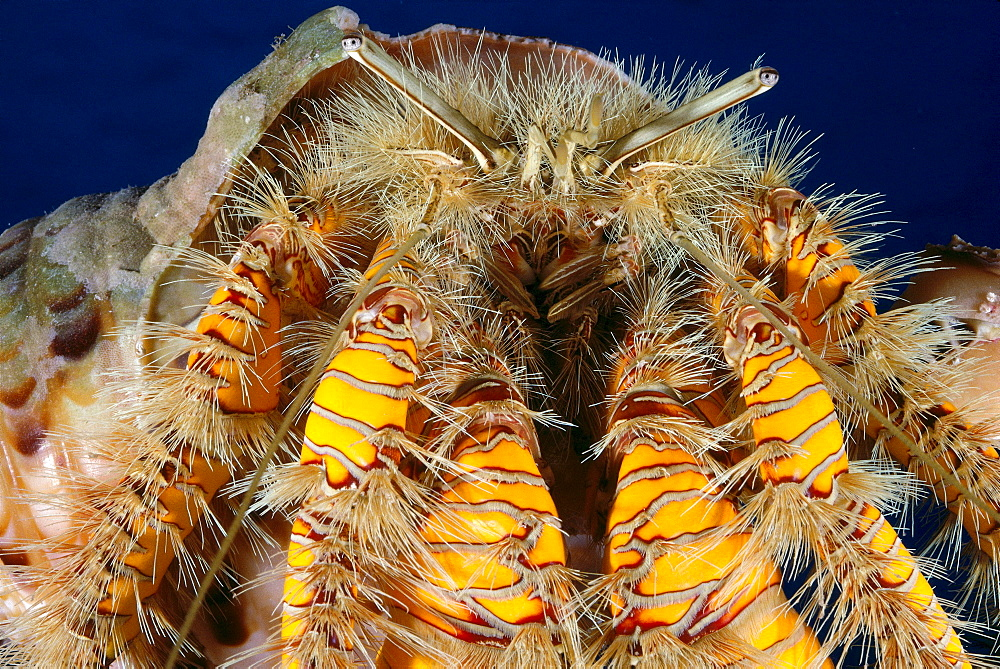 Hawaii, Maui, Hairy hermit crab (Aniculus maximus) close-up detail front view A89E