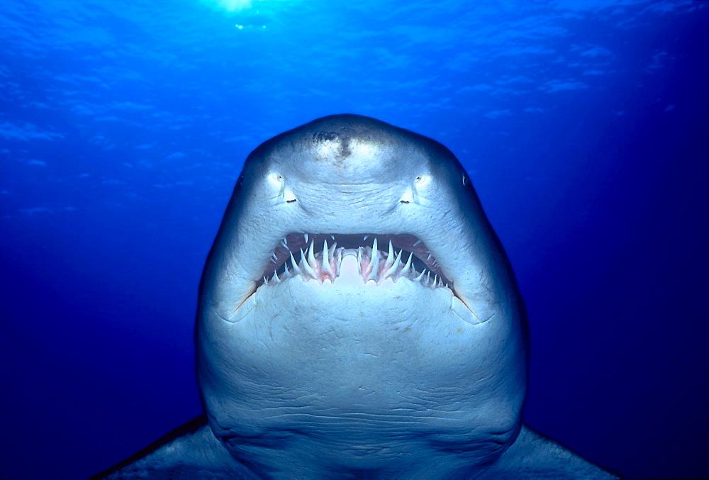 [DC] Australia, Sand tiger Shark (Eugomphodus taurus) close-up front view