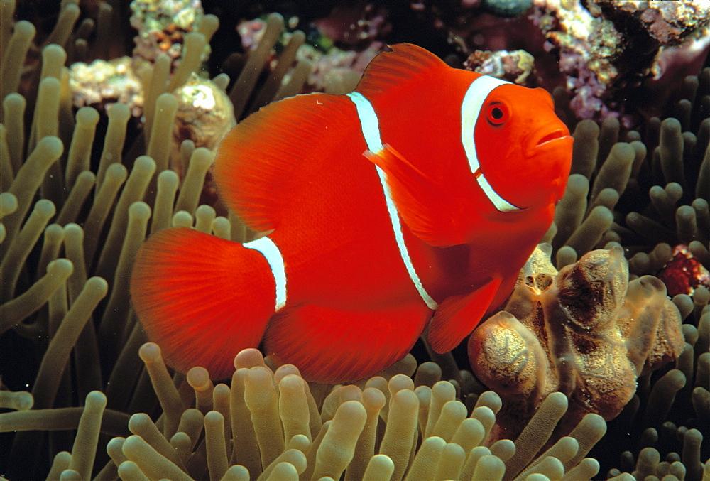 Indonesia, Spine cheek anemone fish (Premnas biaculeatus)