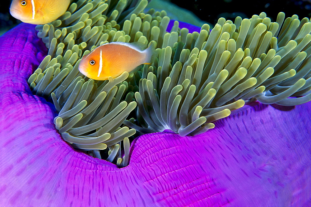 Palau, Anemonefish in pink anemone (Amphiprion perideraion) B1952