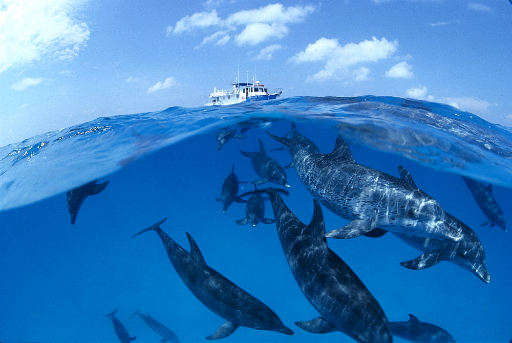 Caribbean, Little Bahama Bank, Atlantic Spotted Dolphins (Stenella) over/under, dive boat B1896