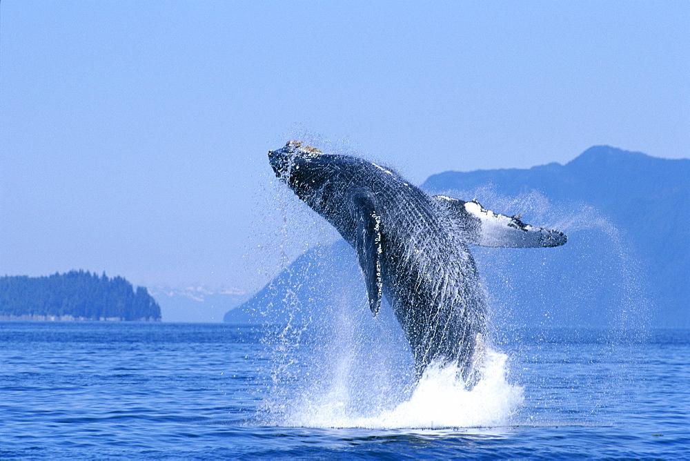 Alaska, Inside Passage, Humpback Whale (Megaptera novaeangliae) breaching B2006