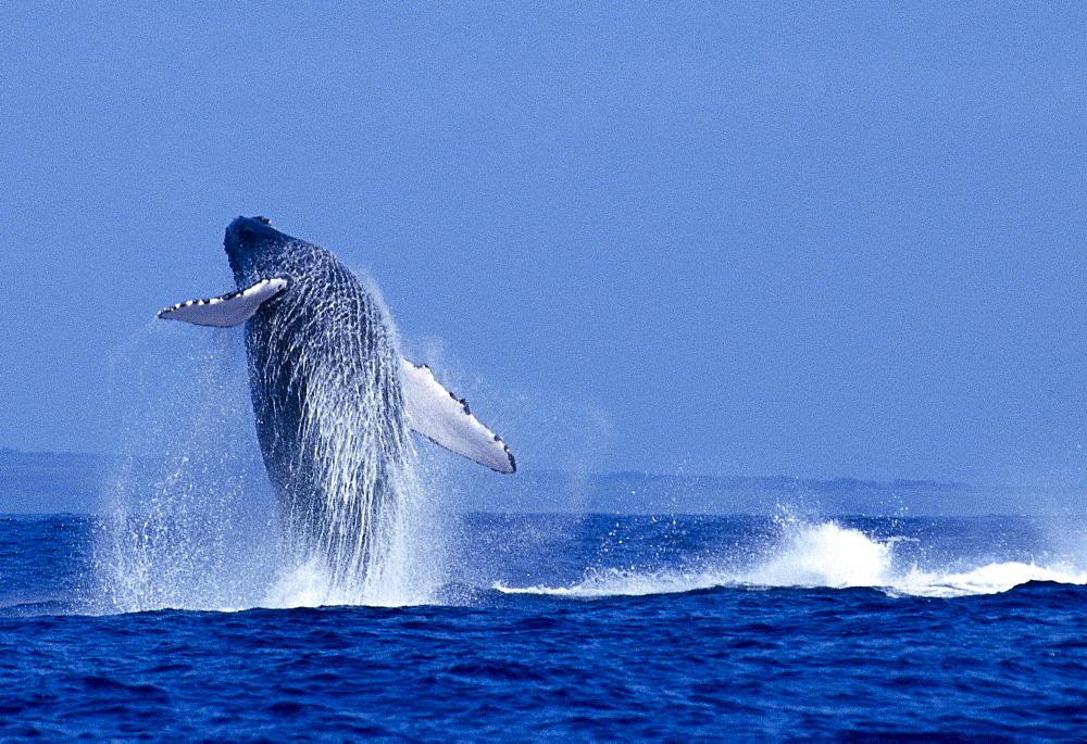 Hawaii, Maui, Humpback Whale (Megaptera novaeangliae) breaching C2024
