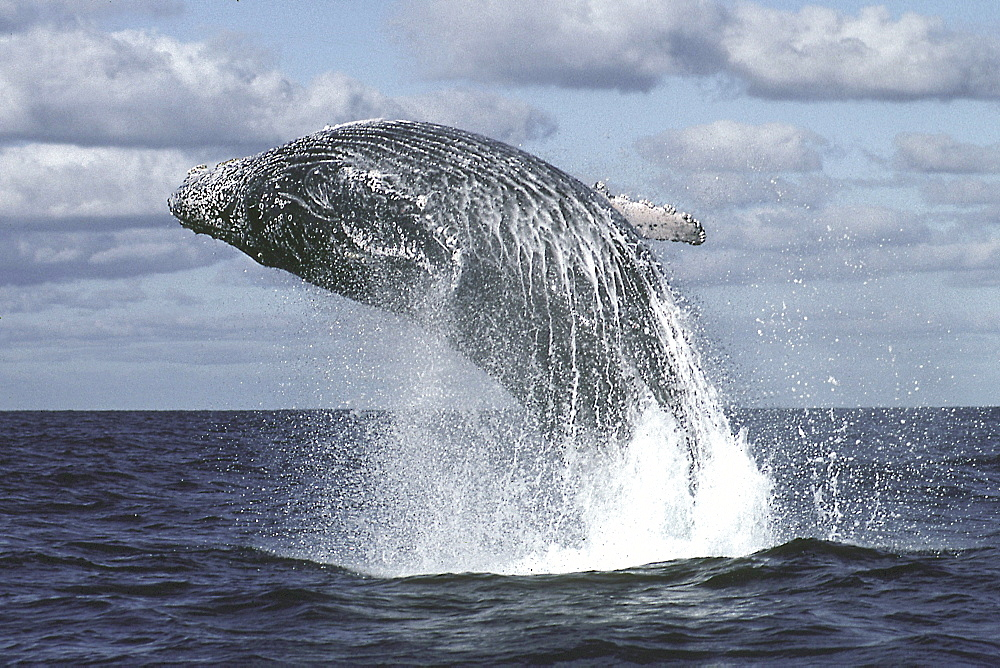 Mexico, Humpback Whale (Megaptera novaeangliae) breaching, close-up C2025