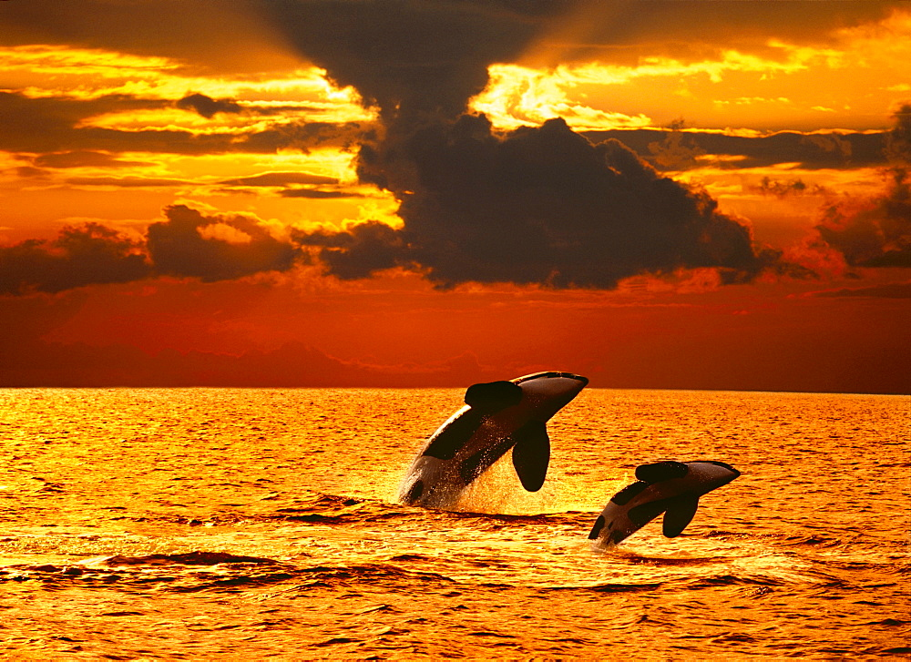[DC] Two orcas (Orcinus orca) double breach at sunset, water reflections C2038