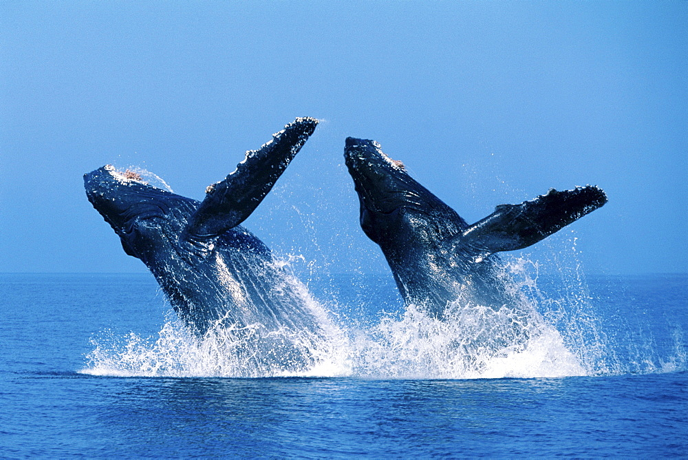 [DC] Close-up view of Humpback Whales double breaching (Megaptera novaeangliae C2036