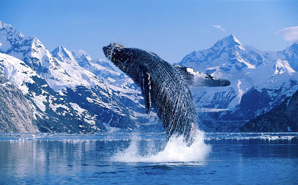 [DC] Humpback Whale (Megaptera novaeangliae) breaching snowcapped mountains background C2040 - 1116-38757