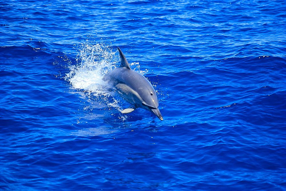 Australia, Common Dolphin (Delphinus delphis) leaps of water C1984