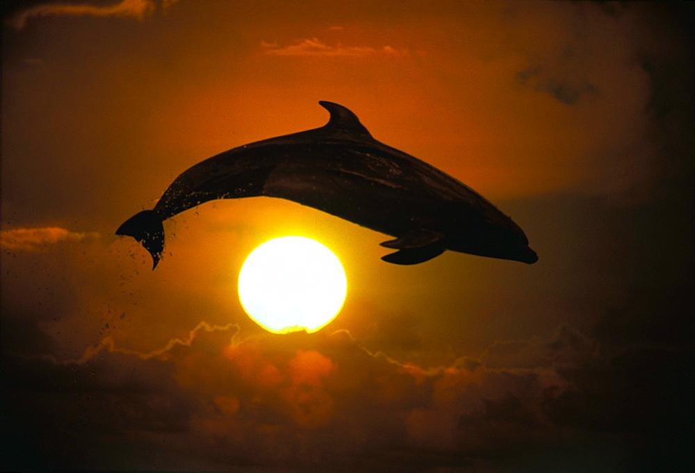 [DC] Bottlenose Dolphin leaps over sun ball, orange sky, silhouette C1995