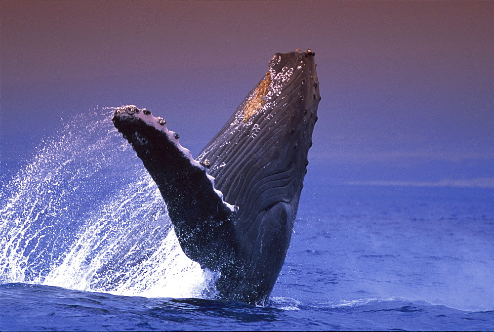 Hawaii, Side view Humpback Whale (Megaptera novaeangliae) breaching, Pacific Ocean D1962