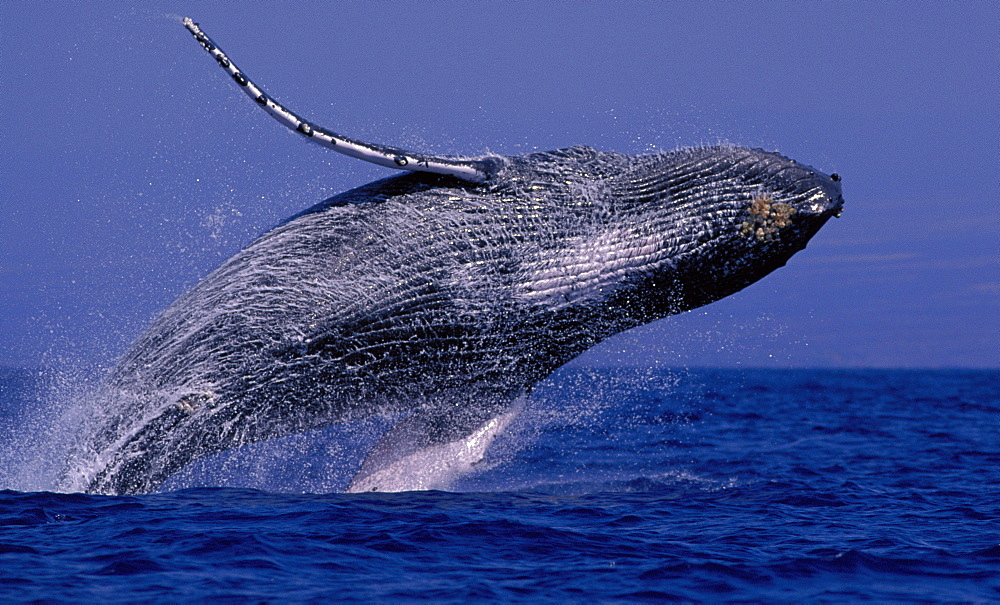 Hawaii, Underside Humpback Whale (Megaptera novaeangliae) breaching, clear blue sky background D1975