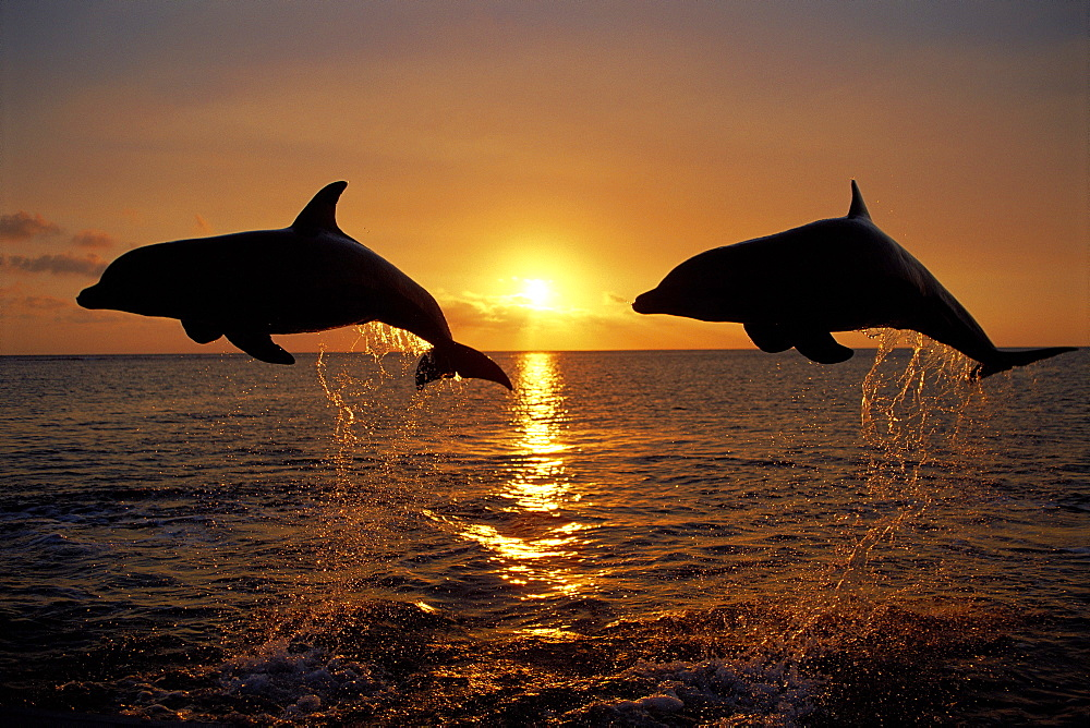 Caribbean, Honduras, Bay Islands, Roatan, two bottlenose Dolphin jump together sunset silhouette (Tursiops truncatus) D1910