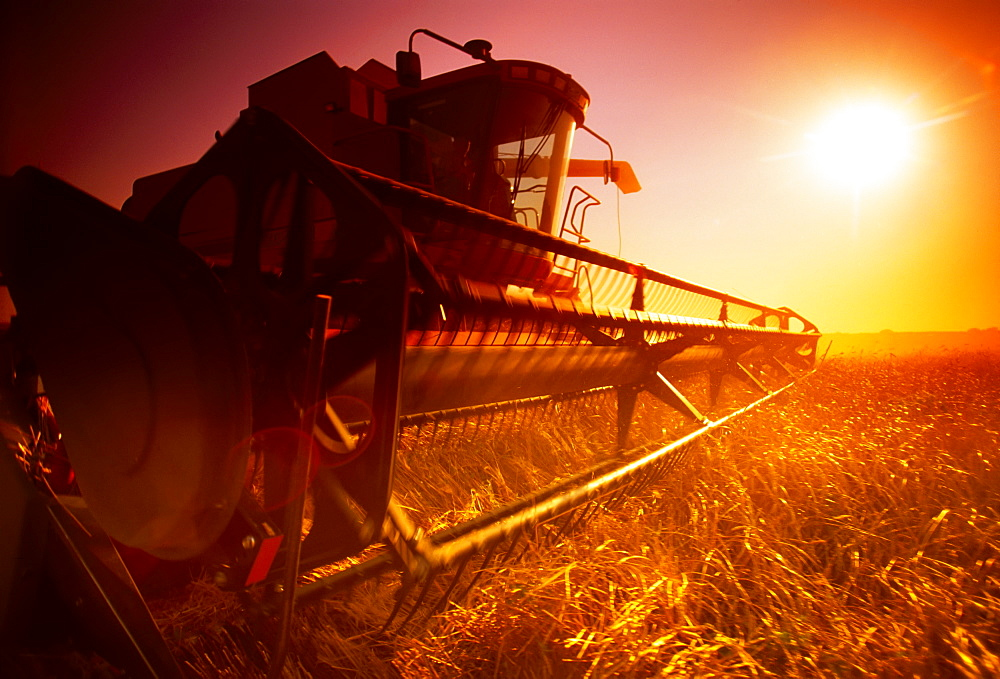 Agriculture - A combine harvests wheat in late afternoon sunlight with a low angle view of the combine header/ Manitoba, Canada. - 1116-39034