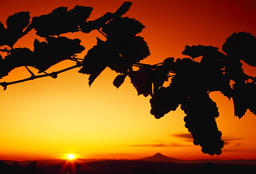 Agriculture - Wine grape vineyard, vines silhouetted by sunset / Willamette Valley, Oregon, USA.