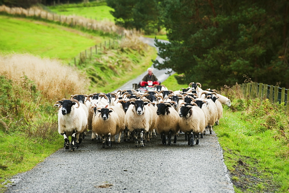 Livestock - Blackface ewes being herded up rural road with the farmer on a motorbike behind / England, United Kingdom.