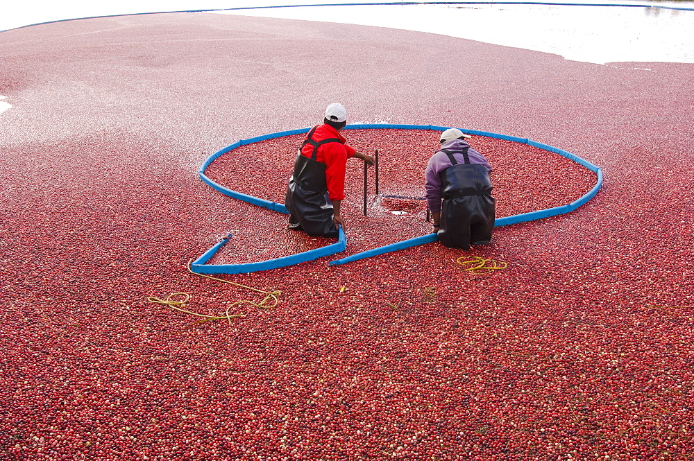 Cranberry Harvest; Villeroy Quebec Canada