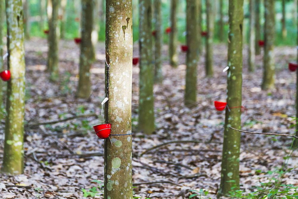 Rubber tree plantation, Simalungun, North Sumatra, Indonesia