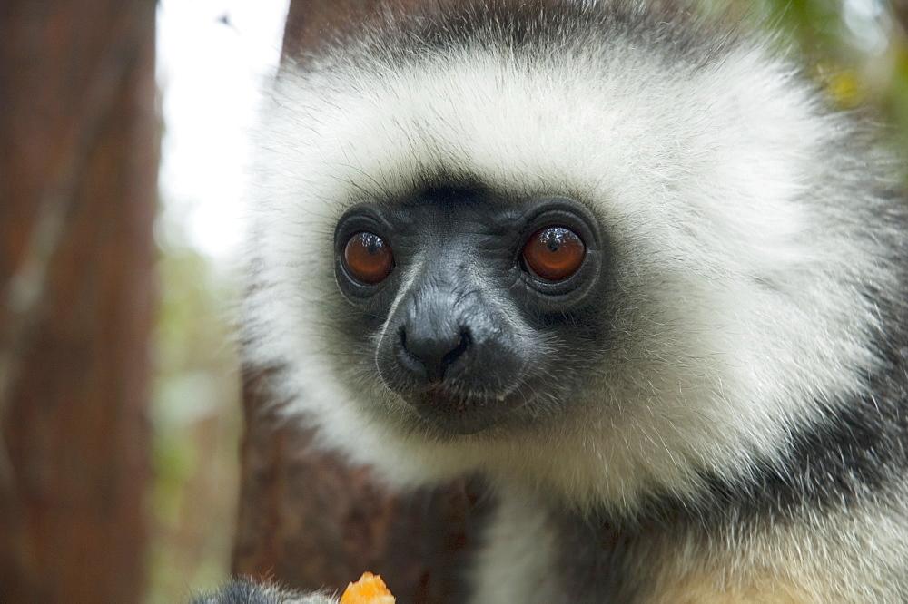 Diademed Sifaka (Propithecus Diadema), Andasibe-Mantadia National Park, Toamasina Province, Madagascar