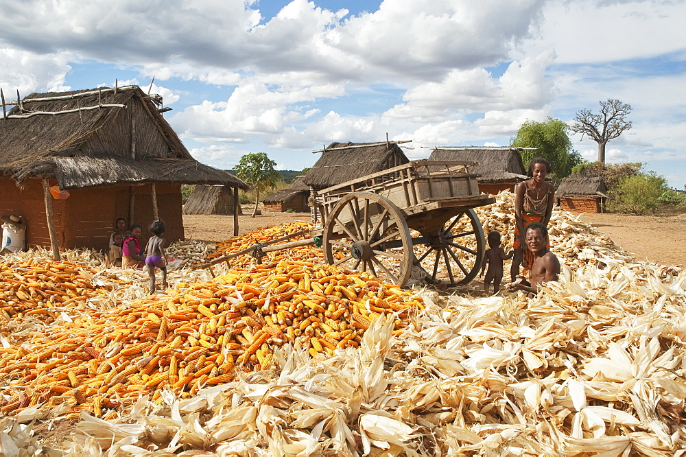 Family Separating Husks From Corn In Mahaboboka, Toliara Province, Madagascar