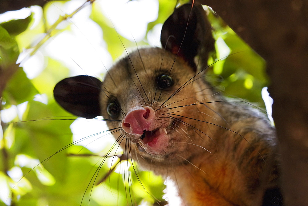 Opossum In A Tree, Guayaquil, Guayas, Ecuador