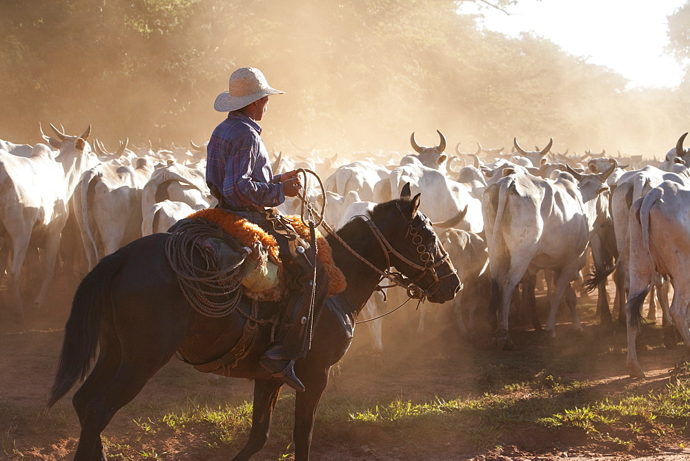 Bolivian Cowboys Herding Indo-Brazilian Cattle (Bos Indicus) In Rural Chiquitania, Santa Cruz Department, Bolivia
