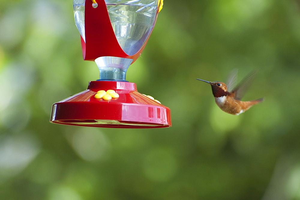 Rufous Hummingbird (Selasphorus Rufus), Lumby, British Columbia, Canada
