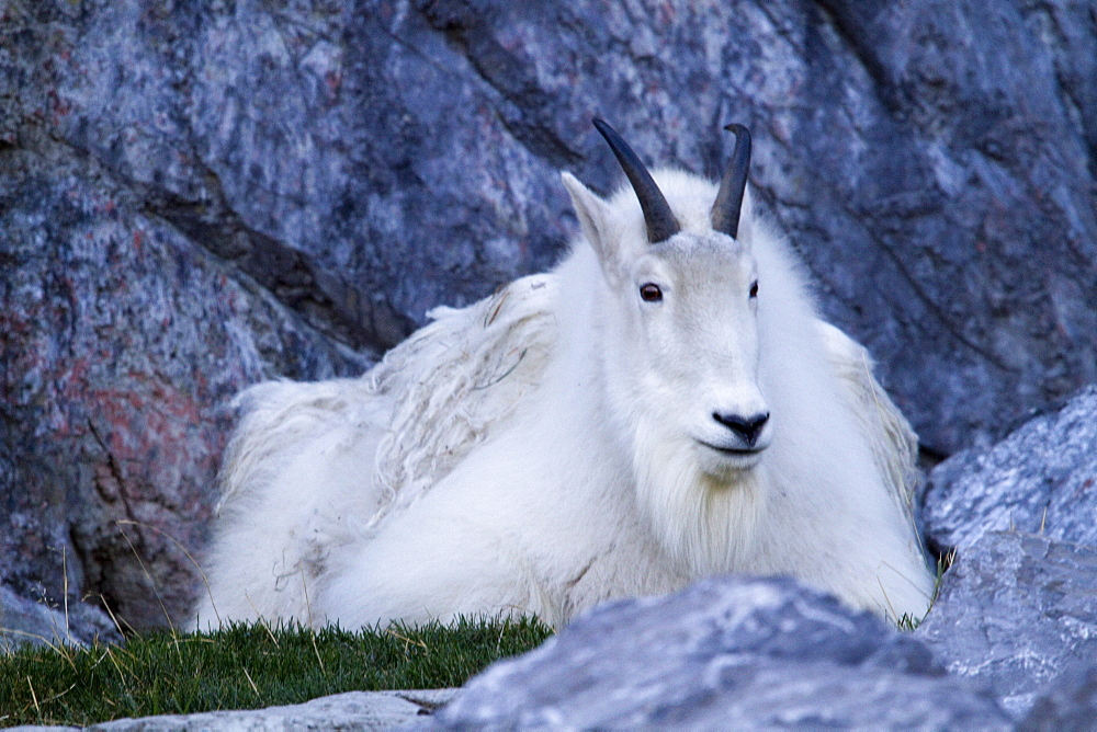 Mountain Goat (Oreamnos Americanus) At The Calgary Zoo, Calgary, Alberta, Canada