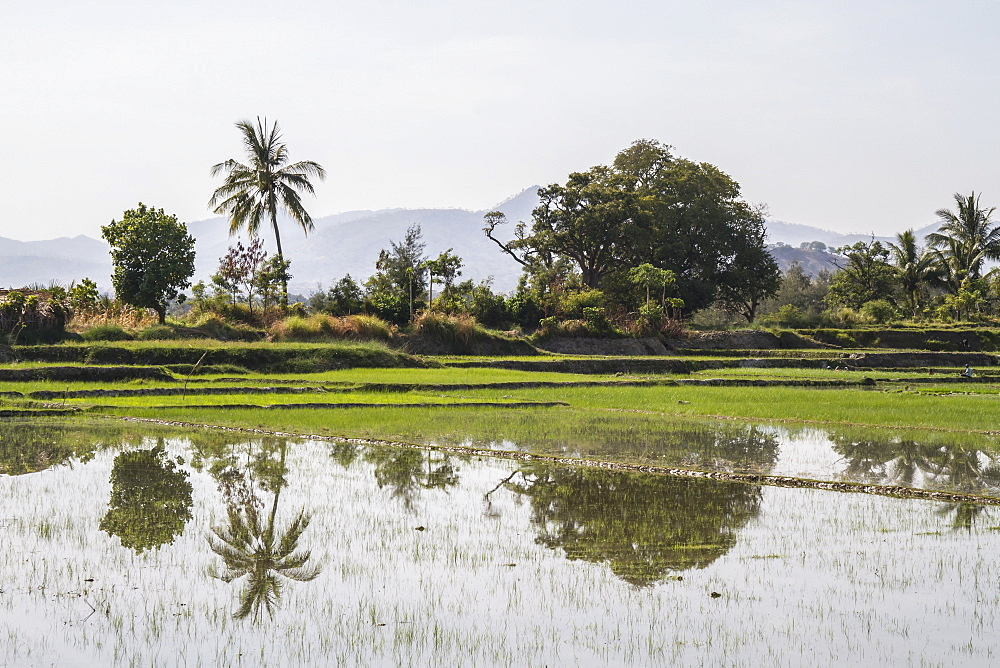 Rice field, near Manatuto, East Timor