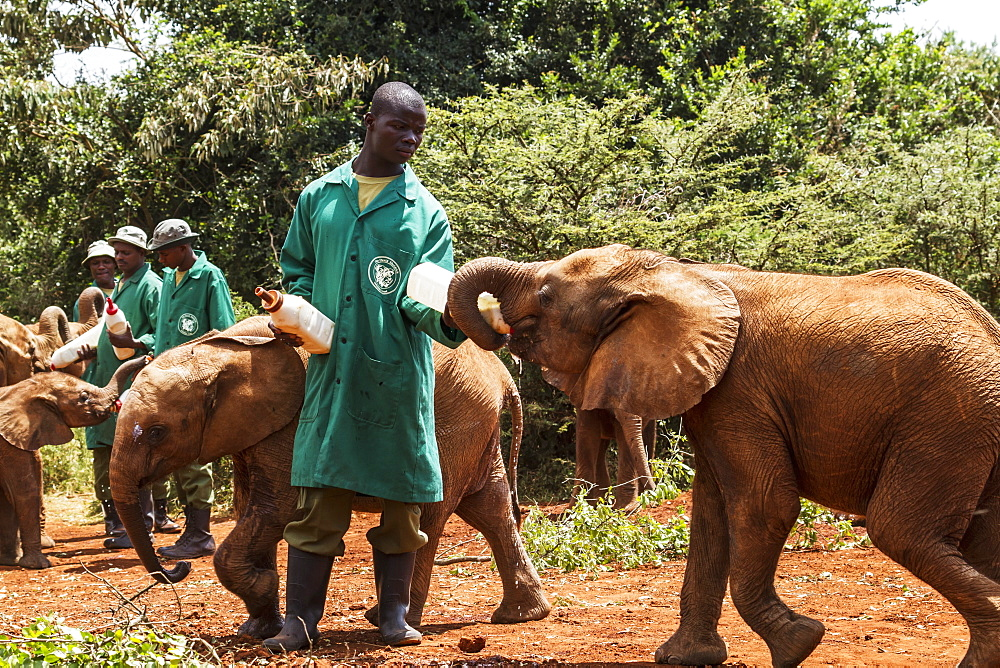 Worker bottle-feeding an orphaned African elephant (Loxodonta africana) at the Sheldrick Elephant Orphanage, Nairobi, Kenya