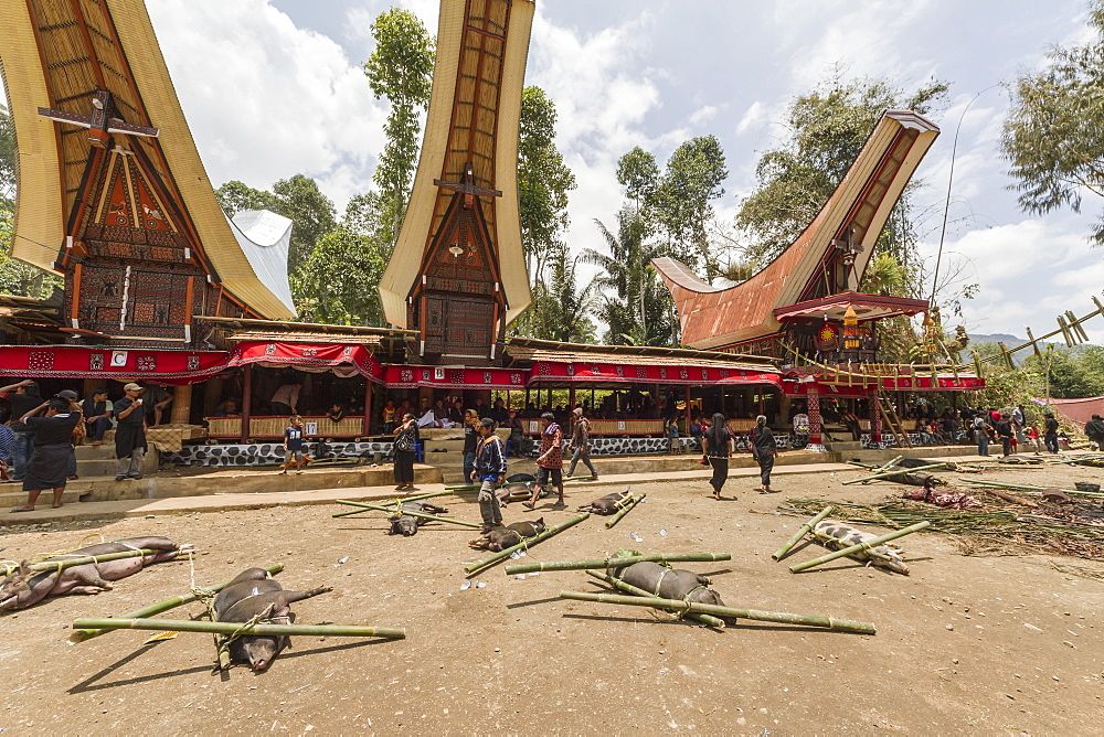 Pigs tied to bamboo sticks at the rante, the ceremonial site where the meat of slaughtered cattle will be distributed to the guests of a Torajan funeral, in Sereale, Toraja Land, South Sulawesi, Indonesia