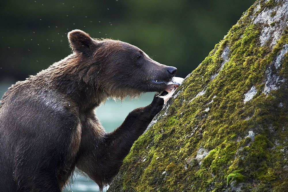 Grizzly Bear (Ursus Arctos Horribilis) Eating A Salmon On A Rock, Chilkoot River, Alaska