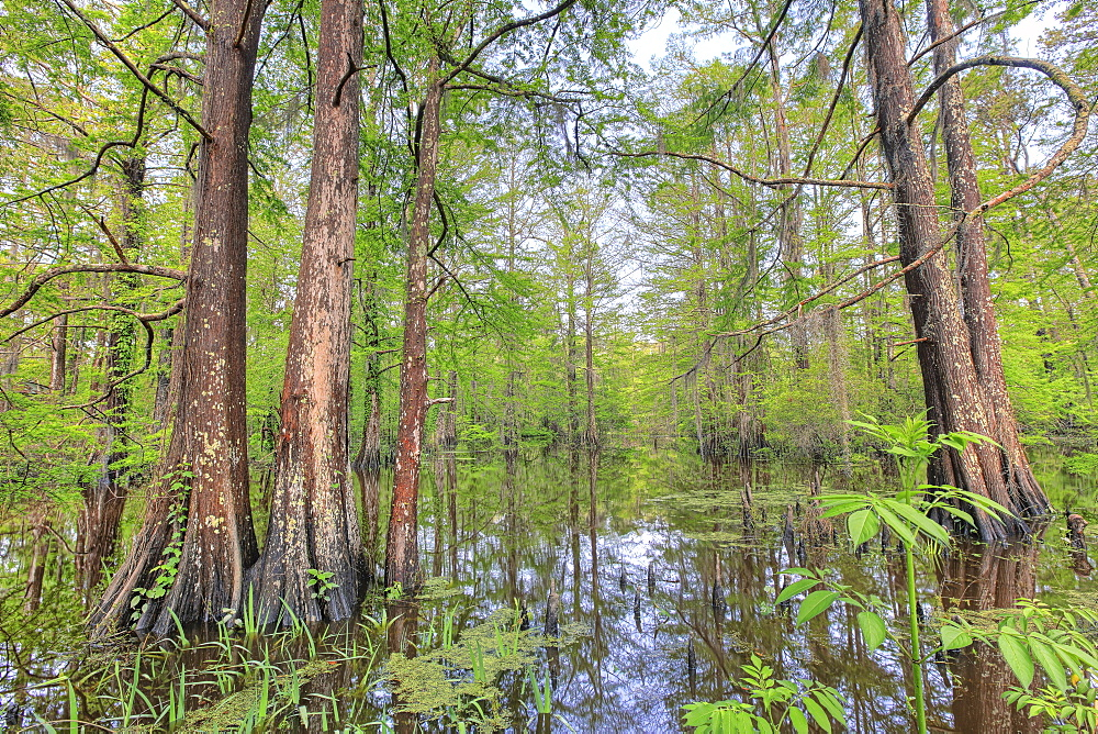 Swamp, Southern Louisiana