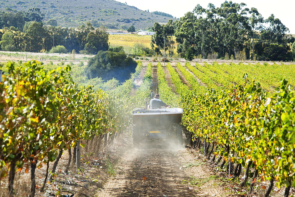 Wine grape harvest, Stellenbosch, Western Cape, South Africa
