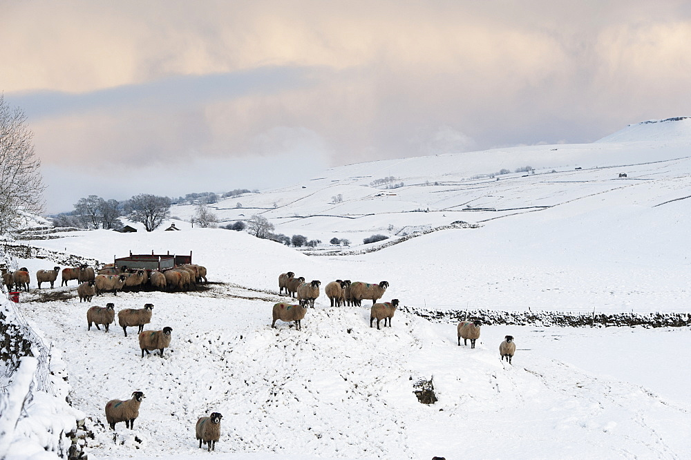 Flock of sheep around a feeder in winter, Penyghent, North Yorkshire, England
