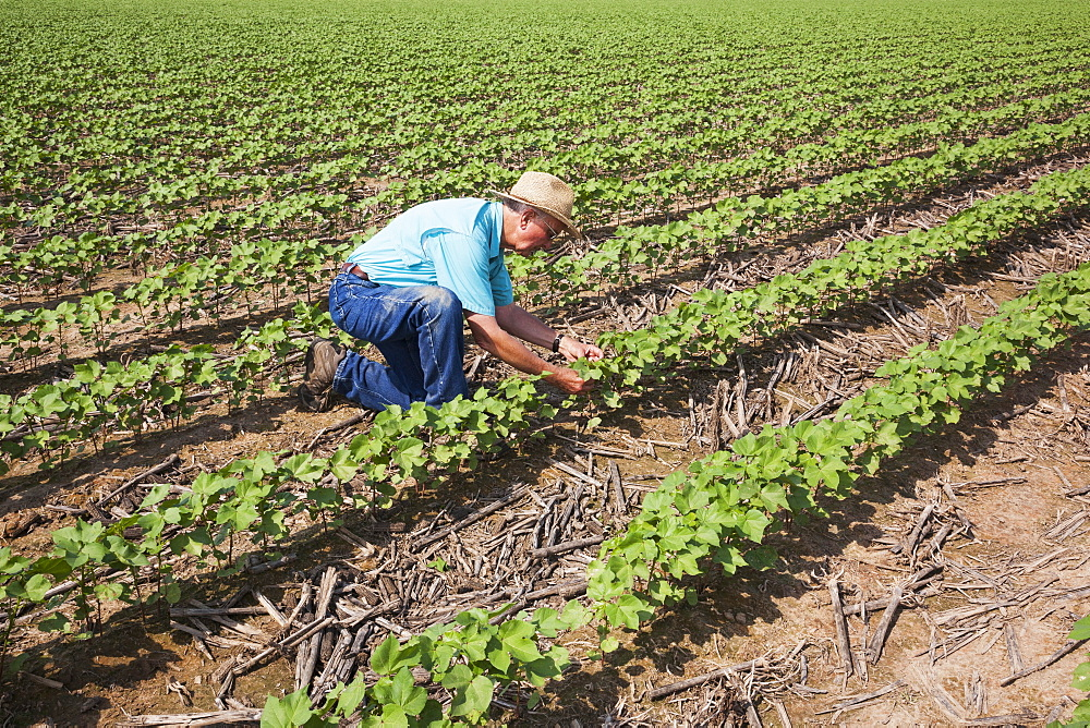 Crop consultant checking progress on no till cotton, approximately 10-12 leaf stage, following previous year's crop of corn, England, Arkansas, United States of America